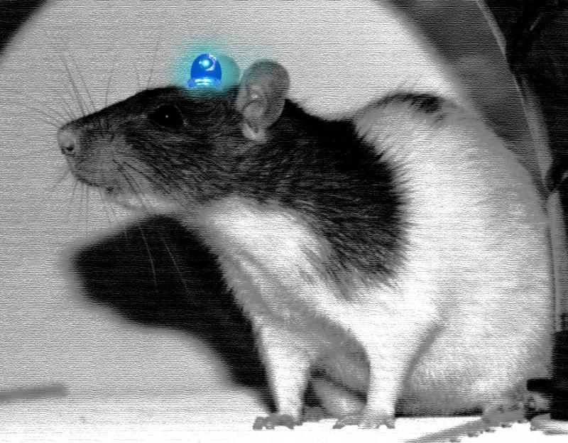 Lab Rat Ruffus